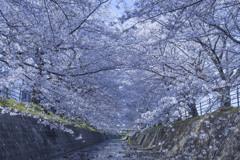 桜回廊_2021_1