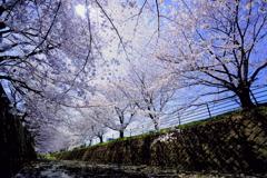 平成最後の桜_2