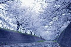 桜回廊_2020_2