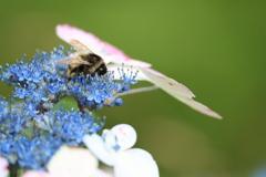 ガクアジサイに夢中なハチ2