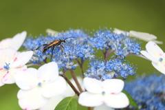 ガクアジサイに夢中な虫