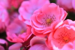 ピンクに染まる