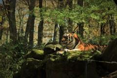 森の中にトラが~