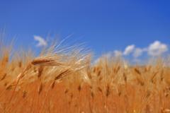 収穫を待つ