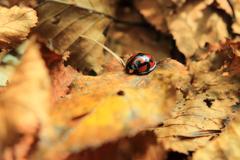 秋のテントウムシ