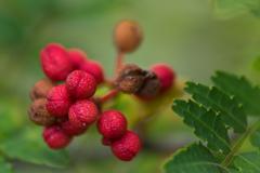 熟れた山椒の実
