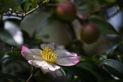 今季初咲山茶花