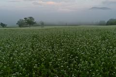 朝霧のそば畑