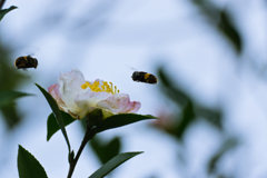山茶花と蜂の季節
