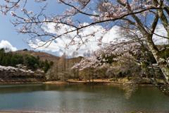 森林公園の桜(2)