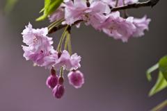 '19 私の「名残り桜」