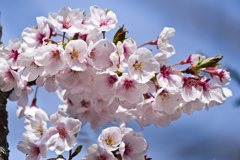 森林公園の桜 (3)・風光る