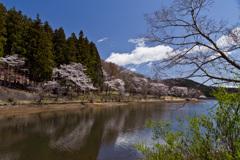 森林公園の桜 (1)