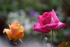 はるの雨  庭の薔薇