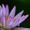 梅雨 庭の睡蓮Ⅰ