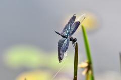 蝶蜻蛉 2020-Ⅲ