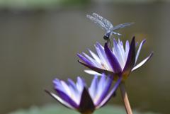 睡蓮と蜻蛉