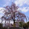 東寺 八重桜