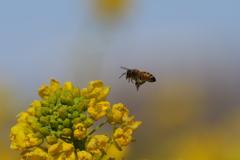 菜の花とミツバチ3