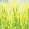 麦の輝き 田舎の風景