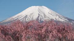 「枝垂れ桜」