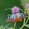 秋に南へ渡り行く蝶