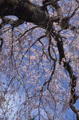 2019年吉野桜