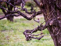 梅の古木で寛ぐ雀さん