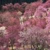 天空の桜宴