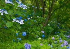 六甲山に紫陽花咲く