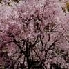 大阪城公園の一本桜