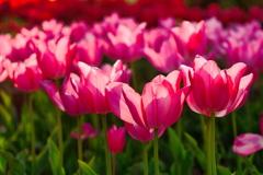春光に輝くチューリップ