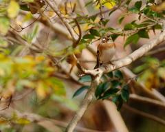 六甲山のアトリ