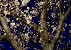 花冷えの王子桜