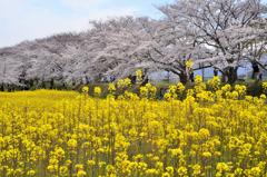 春爛漫の藤原旧跡