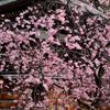 弓弦羽神社の春
