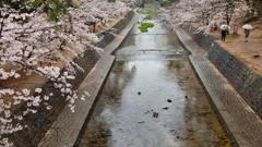 春雨の夙川