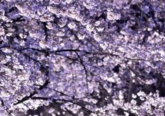 王子の夜桜