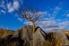 ド根性の樹