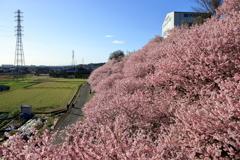 2020春めき桜