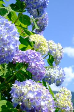 空に負けない青い紫陽花
