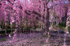 しだれ梅を訪ねて。。。