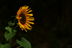 晩秋に咲くひまわり