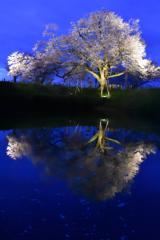 湖面に映る一本桜