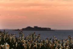 夕暮れの軍艦島を見つめる水仙群