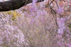 いにしえの宿坊跡に咲く枝垂桜