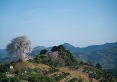 平家の一本桜