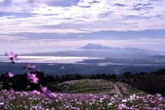 高原に広がるコスモス畑