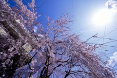垂(しだ)れる春の色