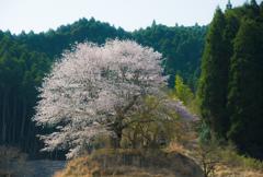 山奥に咲く墓守の大桜